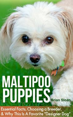 Maltipoo Care Amp Training The Complete Guide On Raising