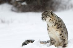 """Snow leopards are not just iconic species of the Himalayas, they are vital indicators of the health of a fragile ecosystem that provides freshwater to millions of people in Asia,"" said Shubash Lohani, WWF's Deputy Director of the Eastern Himalaya Ecoregion Program."