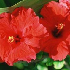 Tropical hibiscus can survive cold winters if you bring them indoors.