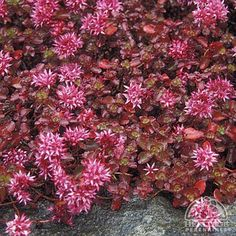 Sedum spurium 'Blaze Stonecrop': Perennial, Zone ful sun or partial shade, blooms mid summer to late summer. Red Roses, Pink Flowers, Red Succulents, Rock Garden Plants, Shade Garden, Plant Information, Ground Cover Plants, Front Yard Landscaping, Landscaping Ideas