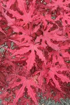 Japanese Maple Varieties, Japanese Red Maple, Japanese Tree, Japanese Garden Design, Japanese Gardens, Maple Leaf Tree, Red Climbing Roses, Japan Garden, Acer Palmatum