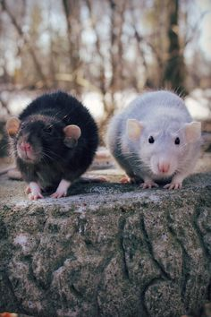 Omg they look exactly like Velvet and Lavender my last two dumbo rats <3