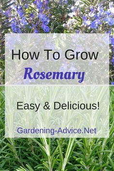 Growing Rosemary in your herb garden or containers is a real pleasure. Learn how to grow Rosemary plants, harvest lots of this delicious herb and enjoy the added benefit of the pretty blue flowers. Plant a rosemary bush in a container and harvest right ou Growing Herbs, Growing Vegetables, Organic Gardening, Gardening Tips, Vegetable Gardening, Sustainable Gardening, Garden Compost, Gardening Books, Indoor Gardening