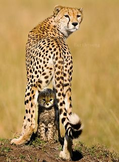 mother cheetah and her last cub
