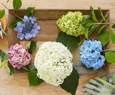 Here are basics that should guide you and help your hydrangea flowers growing healthy and strong.