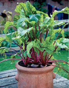 rødbeder i urtepotte