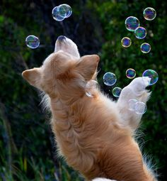 HAHAHAHA the Golden Retriver is playing with the bubbles! :) I could see Daisy doing this