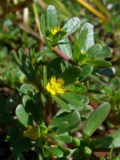 Purslane, the Omega-3 Champion of Leafy Vegetables