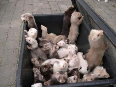 box of ferrets- this would be heaven for me :) so many babies