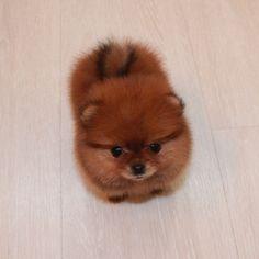 imperial_family_pom's photo on Instagram Pomeranian Teacup puppy