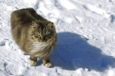 Snow Cat by Kittengrapher.deviantart.com on @deviantART