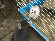 My cute rabbits finally bonded. Follow my YouTube Chanel to see how you bond rabbits. Also follow me on instagram: Sclxe123 and Sclxe8080