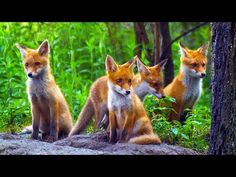 CUTE RED FOX PUPS/ Young red foxes playing / Nature Documentary - YouTube