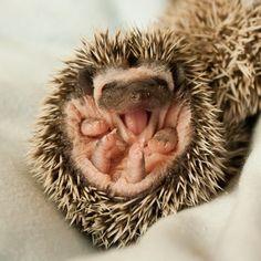 Precious happy baby hedgie !!