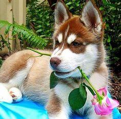 Husky love. How romantic!!!
