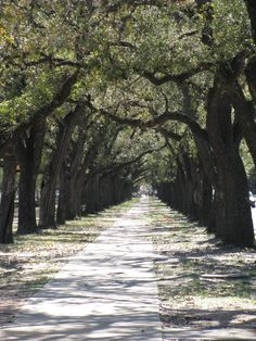 Live Oaks at Rice University