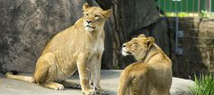 Going to see the new lions at Lincoln Park Zoo!!!