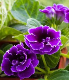 Violet Gloxinia  Florist's Gloxinia Violet Slipper Gloxinia  Scientific Name Sinningia speciosa  Plant Type Perennial  Blooming Late Spring to Early Fall