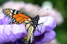 Butterfly Insects, Bee, Butterfly, Flowers, Animals, Honey Bees, Animales, Animaux, Bees