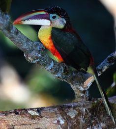 Foto araçari-mulato (Pteroglossus beauharnaesii) por Mathias Singer | Wiki Aves - A Enciclopédia das Aves do Brasil