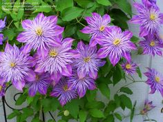 PlantFiles Pictures: Early, Large-flowered Clematis 'Crystal Fountain' (Clematis) 17 by irishbelle
