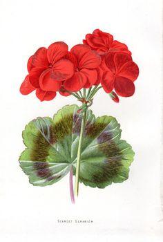 SCARLET GERANIUMS. 1887 Scarlet Geranium Antique Botanical by AntiquePrintGallery