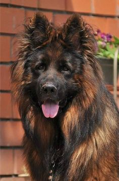 I love my dogs, but this guy is about the most stunning GSD I have ever seen -- he is breathtaking