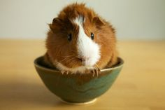 Guinea pig in a bowl.. olley baby