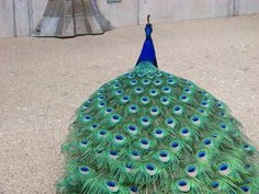 Peacock, Kew Gardens, England.  He was gorgeous and strutted for everyone to take photos.