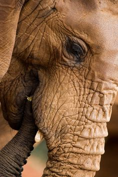 """""""We admire #elephants in part because they demonstrate what we consider the finest human traits: empathy, self-awareness, and social intelligence. But the way we treat them puts on display the very worst of human behavior"""". ~ Graydon Carter"""