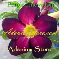 Adenium Obesum 'Purple Innovation' 5 Seeds
