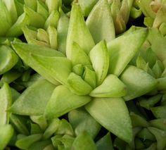Haworthia reticulata var. reticulata (Mini)