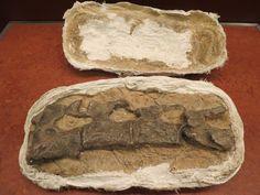 Here's a fossil in a field jacket. A field jacket is what palentologists use to encase a broken dinosaur bone, just like doctors cast broken human bones.