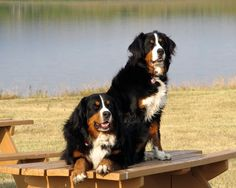 Our two amazing Berners!