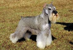 The smallest and most well-known in the schnauzers, the miniature schnauzer was created in the late 1800s as a small farm dog and ratter in Germany.