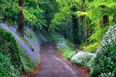 Bluebell Woods…. Hyacinths in Duloe Woods, Cornwall, England (posted on skyscrapercity.com by Gregori I.)
