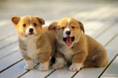 Golly bum. I'd want them to stay cute-round-fur-balls forever! #Cardigan Welsh Corgis