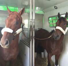 American Pharoah and Dortmund arrive at Pimlico for the 2015 Preakness.