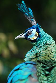 peacock profile (photograph by bradsview)