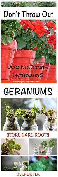 Overwintering Geraniums | Weed It & Reap!