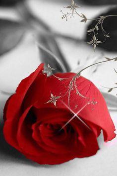 Red Rose!!!