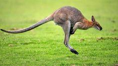 Wallaby-small version of kangaroo and usually found in Australia, New Zealand or New Guinea Kangaroo Jumps, Red Kangaroo, Creepy Animals, Funny Animals, Cute Animals, Australia Kangaroo, Especie Animal