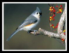 Tufted Titmouse...I have lots of these at my house...so fun to watch.