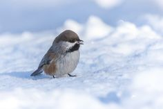 Boreal Chickadee - Peter Stahl Photography - Isle Lake Alberta.  -  http://ift.tt/2iqvduv IFtemppicpinned in Building blocksdownld in ios #December 28 2016 at 09:14PM#via IF