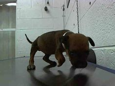 ⚠️⚠️ON KILL LIST! POOR BABY with DEFORMED FRONT LEG - DONNIE (A1643562) I am a male brown Terrier. The shelter staff think I am about 9 weeks old and I weigh 2 pounds. I was found as a stray and I may be available for adoption on 09/12/2014. — hier: Miami Dade County Animal Services. https://www.facebook.com/urgentdogsofmiami/photos/pb.191859757515102.-2207520000.1410526083./838786229489115/?type=3&theater