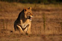 Photo by Michal Prasek Mammals, Lions, Wildlife, Awesome, Lion