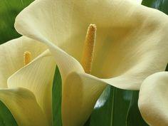 Calla Lilies, Hawaii