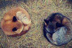 對於狐狸而言,如果團不成球,胖成球好像也是一種不錯的賣萌方式.....