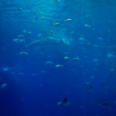 Whale Shark Feeding/ The Deep Underwater Creatures, Underwater World, Shark Bait, After Life, Shark Week, Whale Sharks, Whales, Flora And Fauna, Underworld