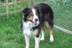 """""""Home - TRIMAC BORDER COLLIE Working Sheep Dogs"""" What a gorgeous tricolor"""